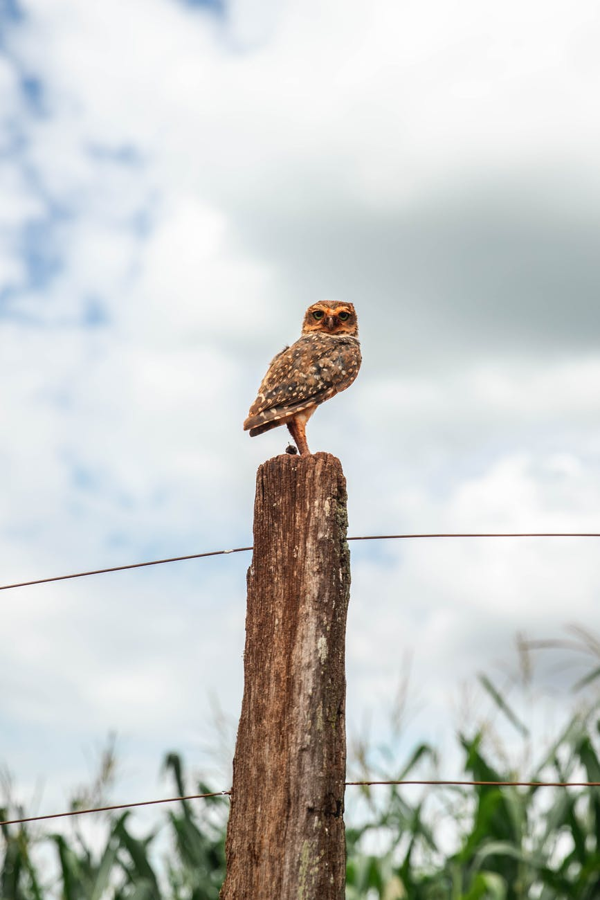 brown owl perched on brown wooden post under white clouds